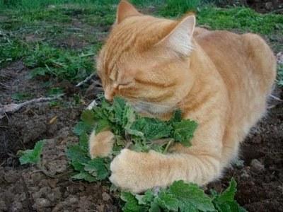 Invet Sobre semillas Catnip