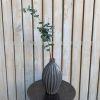 Eucaliptus Primavera