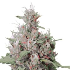 Royal Creamatic AUTO Royal Queen Seeds
