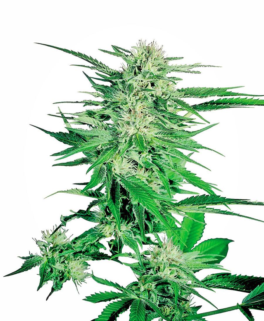 Big Bud Reg Sensi Seeds