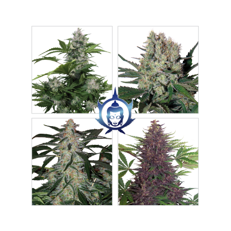 Assorted Promo Pack AUTO Buddha Seeds