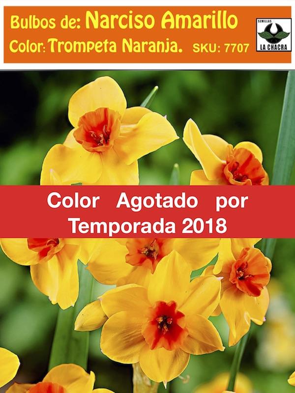 Bulbo De Narcisos Amarillos Trompeta Naranja Semillas La Chacra - Narcisos-amarillos