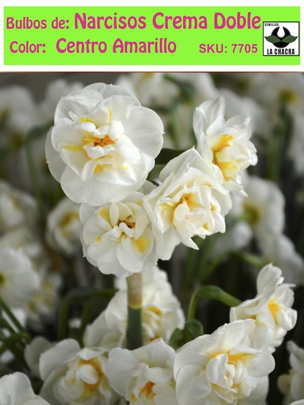 Bulbo de Narcisos Crema Doble CAmarillo Semillas La Chacra