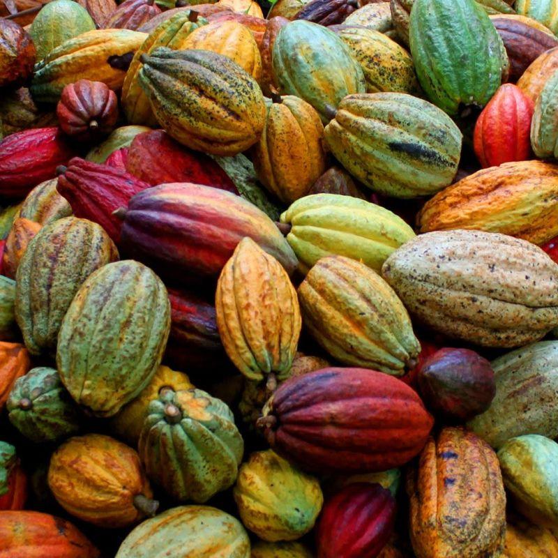 Cacao criollo, trinitario y forastero ¿Conoces la diferencia?