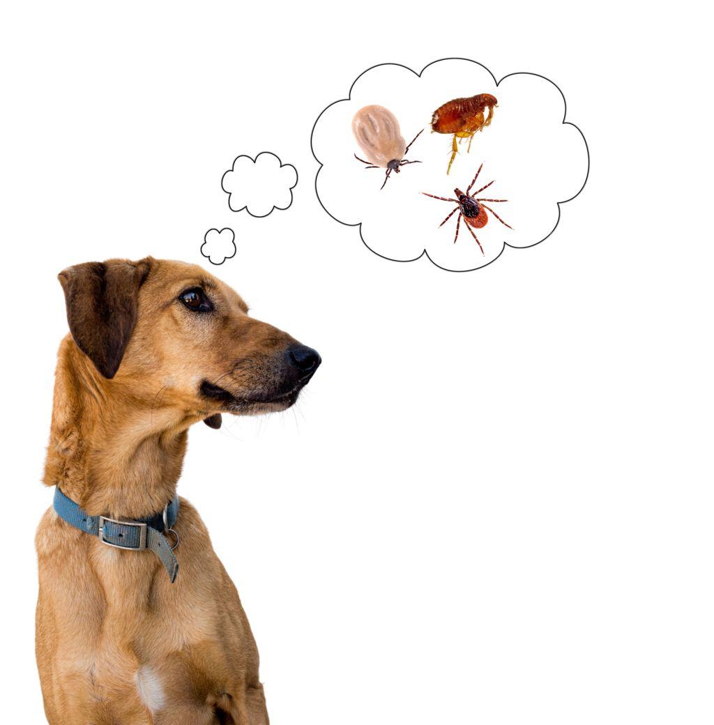 La infestación por pulgas y garrapatas es uno de los problemas más frecuentes en perros.