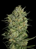 Eva Seeds - Monster - Fem