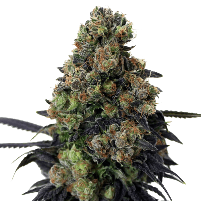 Ripper Seeds - Acid Dough Fem (3)
