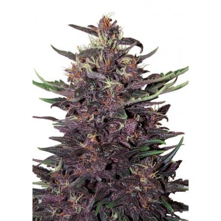 Buddha - Purple Kush Auto (3)