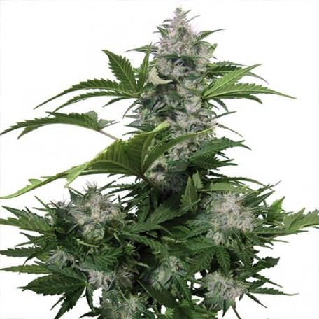 Buddha Seeds - White Dwarf (x3)