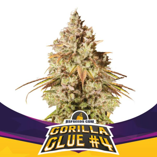 BSF Seeds - Gorilla Glue #4