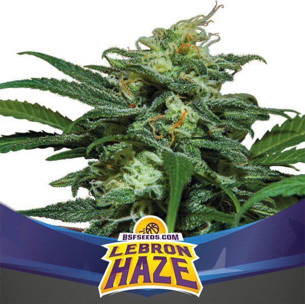 BSF Seeds - Lebron Haze xxl Auto