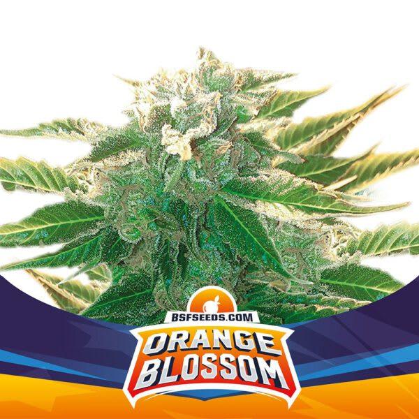 BSF Seeds - Orange Blossom XXL Auto