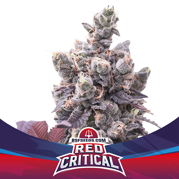 BSF SEEDS - Red Critical Auto
