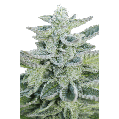 Seedmakers - Super Kush Fem (5)