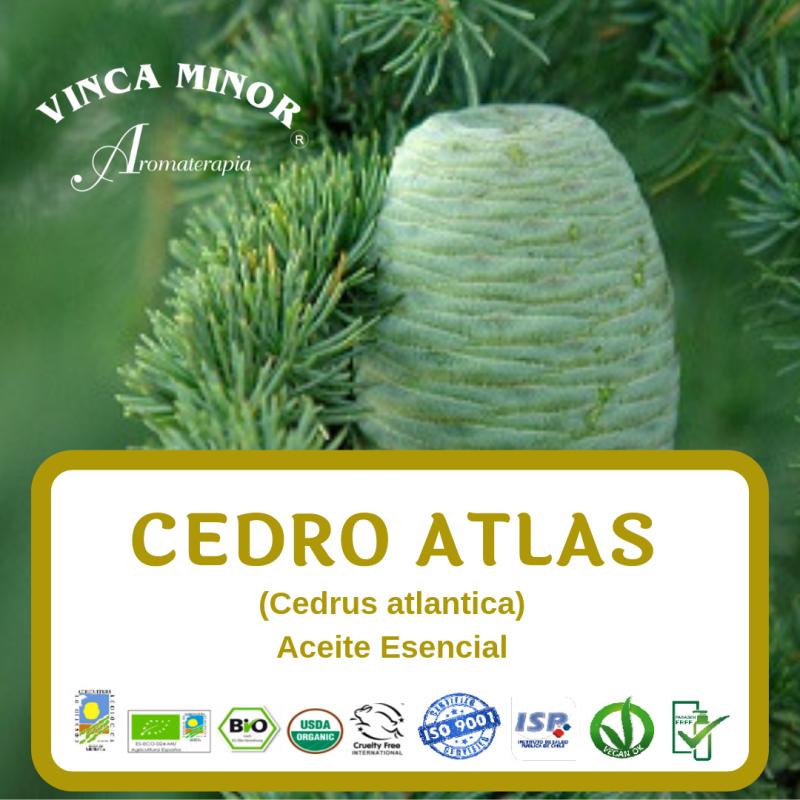 Cedro Atlas (Cedrus atlantica)