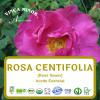 Rosa Centifolia (RCO, Rose flower oil)