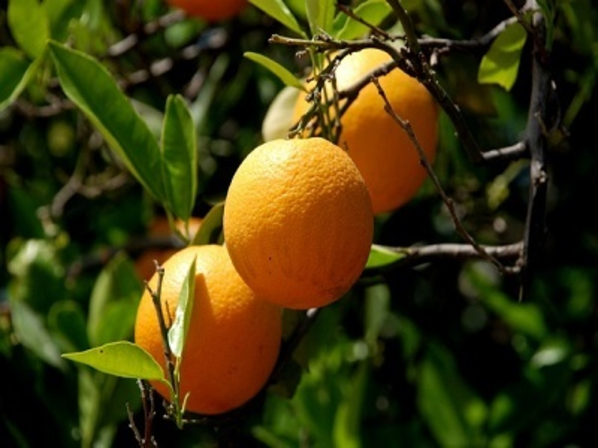Resultado de imagen para naranja dulce