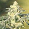 bsf seeds feminizada